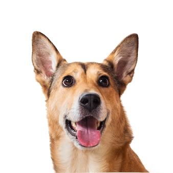 Rude włosy pies siedzi, patrząc na kamery, na białym tle