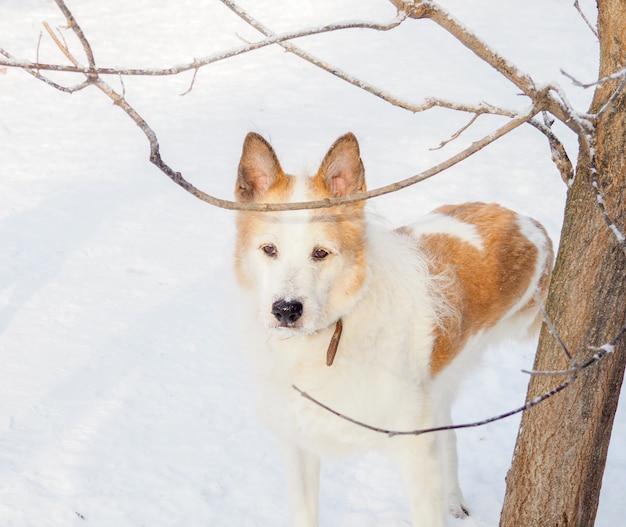 Rudowłosy bezdomny pies, pies uliczny, miły i wierny