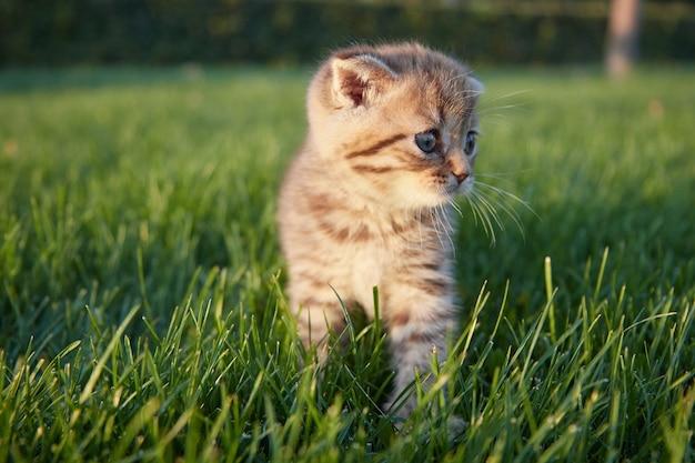 Rudowłosy mały kotek siedzi, biegnie i bawi się w zielonej trawie, odwracając wzrok