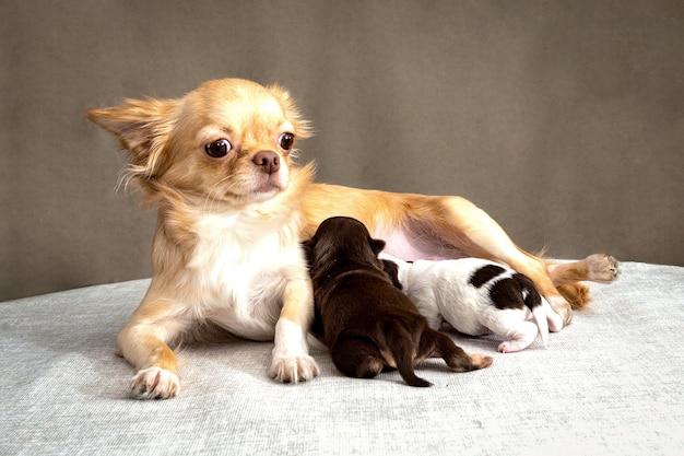 Rudowłosy pies chihuahua leży i karmi piersią dwa szczenięta.
