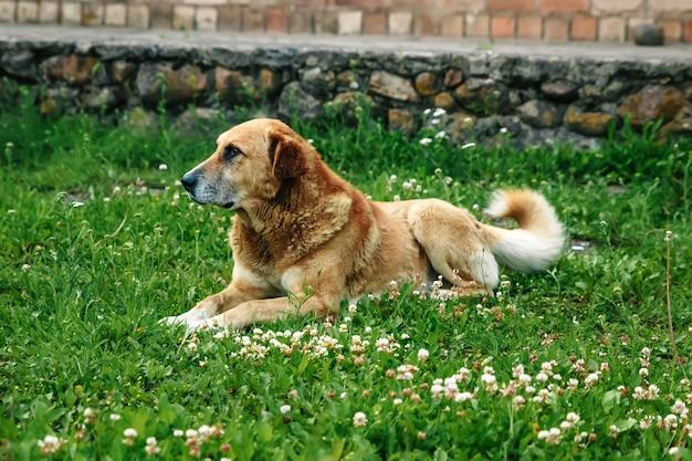 Rudowłosy pies leży na trawniku