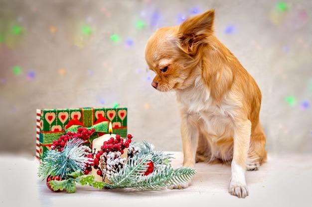 Rudowłosy puszysty pies chihuahua patrzy na kompozycję noworoczną.