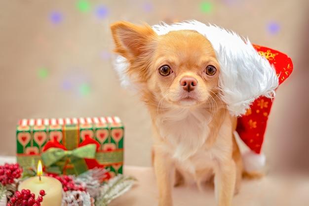 Rudowłosy puszysty pies chihuahua w czapce świętego mikołaja czeka