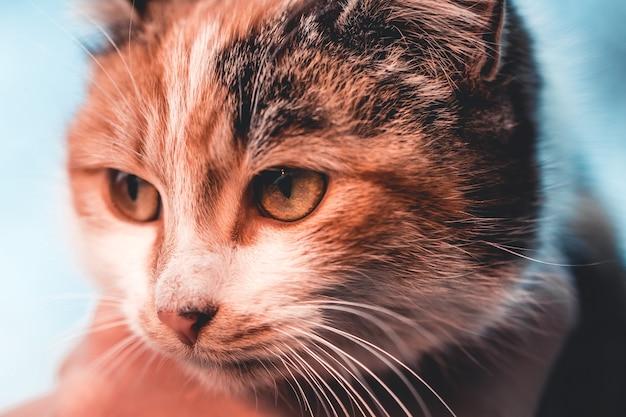 Rudy, czarno-biały kot ze słońcem za plecami, duże oczy