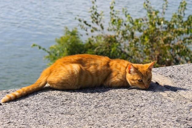 Rudy kot na brzegu rzeki
