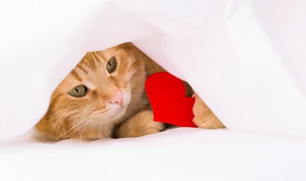 Rudy kot pod białym kocem z walentynką w kształcie serca