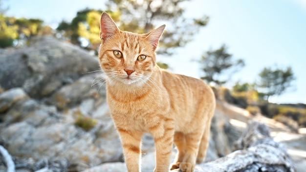 Rudy kot przebywający na skałach w pobliżu wybrzeża morza egejskiego w grecji