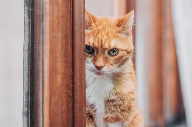 Rudy kot siedzi w oknie i patrzy w kamerę. portret.