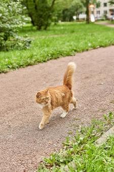 Rudy kot spaceruje parkową ścieżką po zielonej trawie z podniesionym puszystym ogonem