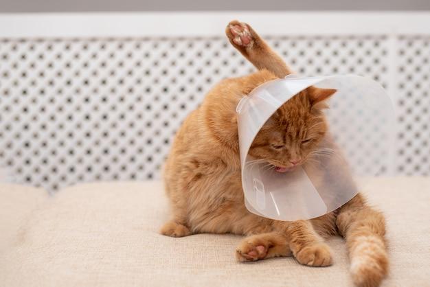 Rudy kot z kołnierzem vet elżbietańskim próbuje lizać łapę. zbliżenie kota w paski, leżącego na sofie w pokoju, myącego się, liżącego.