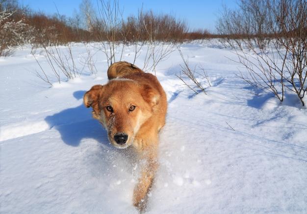 Rudy pies idzie na śniegu