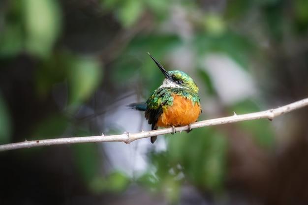Rufoustailed jacamar na drzewie w naturalnym środowisku