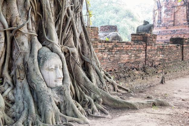 Ruiny części głowy starożytnego posągu buddy zostały zakryte korzeniami drzewa figowego na starym murze w świątyni wat phra mahathat w parku historycznym phra nakhon si ayutthaya, tajlandia