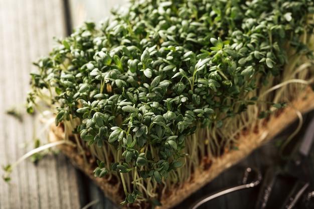 Rukiew ogrodowa, młode rośliny.