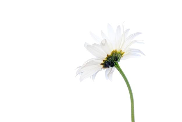 Rumianek biały na białym tle