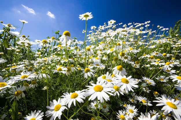 Rumianek biały rośnie dziko na tle błękitnego nieba, słońce oświetla rośliny, stokrotki służą do ozdabiania i tworzenia leków homeopatycznych