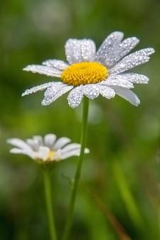 Rumianek lub kwiat rumianku z kroplami wody na białych płatkach po deszczu