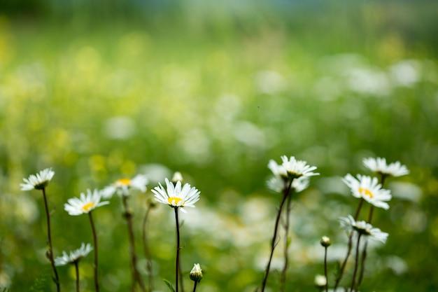 Rumianek na dzikiej łące. stokrotka to roślina lecznicza.