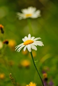 Rumianek z bokeh na tle zielonej trawie i polne kwiaty