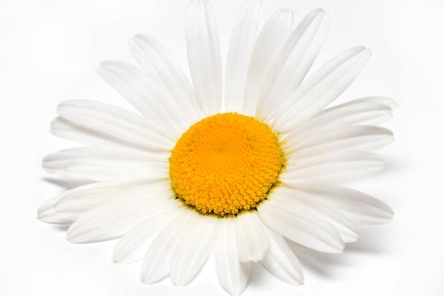 Rumianku lub rumianku kwiaty odizolowywający na białym tle