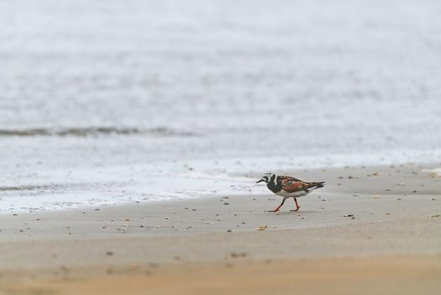Rumiany kamień chodzący po brzegu morza