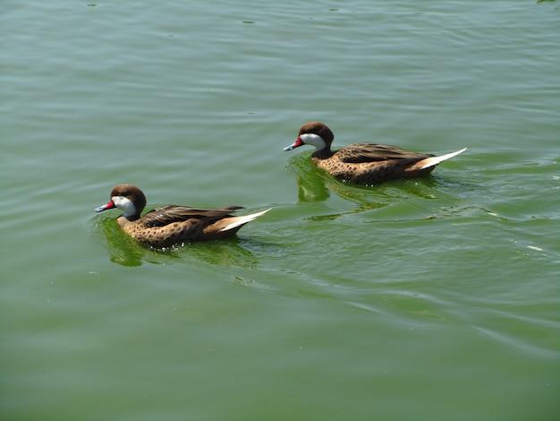 Rusałka z białymi policzkami pływająca w jeziorze w słońcu w ciągu dnia