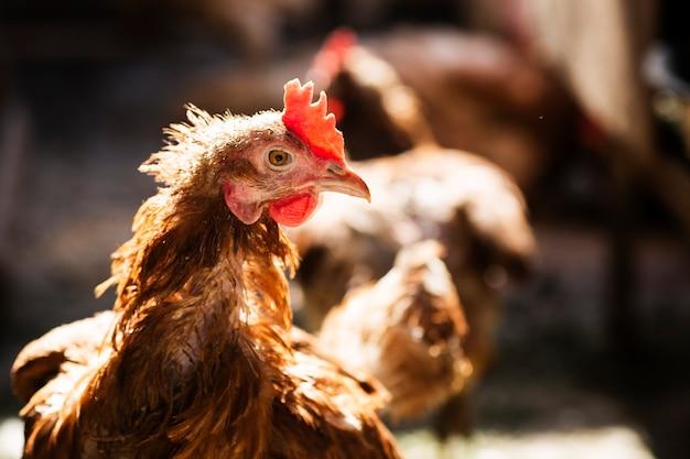Rustykalny brązowy kurczak z bliska kurnik