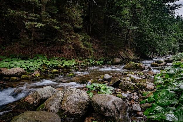 Rwąca rzeka płynie w iglastym lesie wśród omszałych kamieni