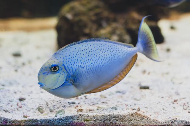 Ryba - acanthurus bariene. surgeonfish black-spot