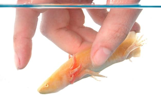 Ryba aksolotlowa