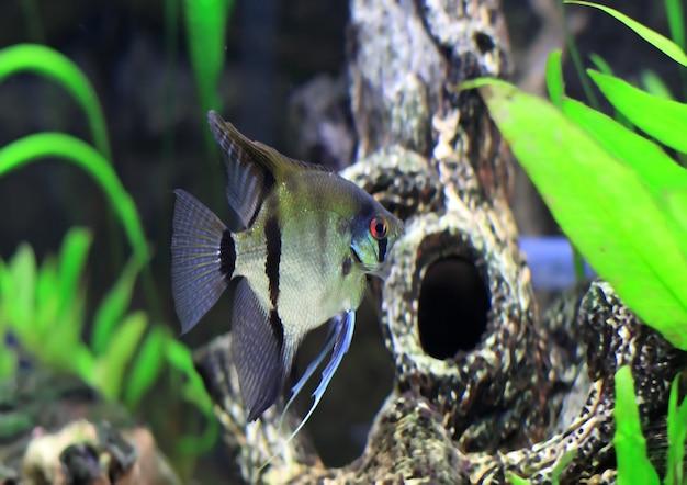 Ryba akwariowa - biała skalara w wodzie.
