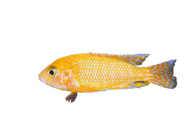 Ryba akwariowa karłowata cichlid-aulonocara(aulonocara sp. orchidea red)