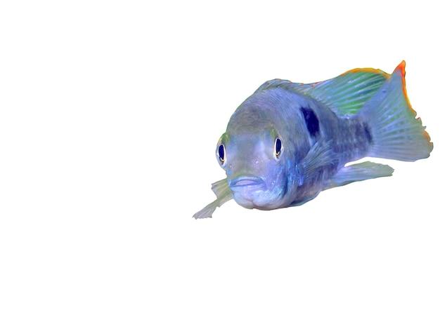 Ryba akwariowa pielęgnica karłowata. (apistogramma nijsseni). pojedynczo na białym
