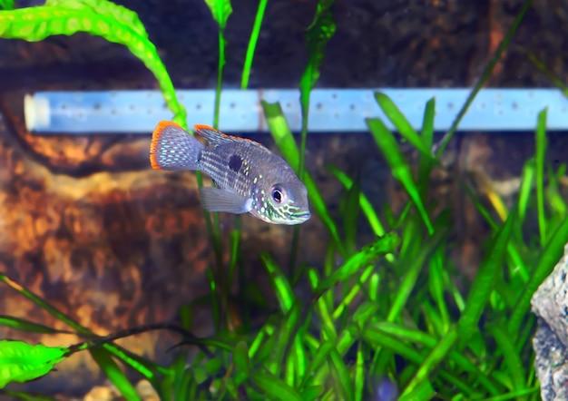 Ryba akwariowa pielęgnica karłowata. (apistogramma nijsseni).