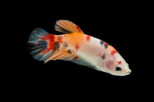 Ryba betta. piękny bojownik syjamski nemo na czarnym tle.