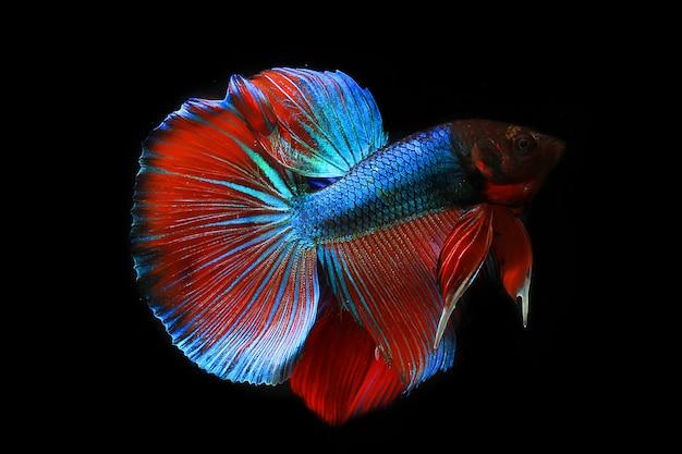 Ryba betta z pięknymi kolorowymi ogonami