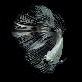 Ryba betta