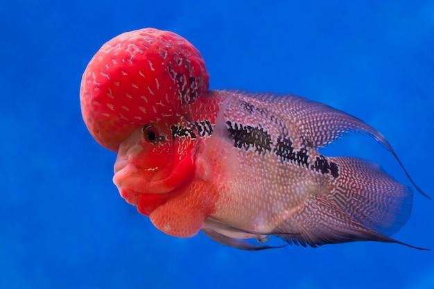Ryba cichlid flowerhorn