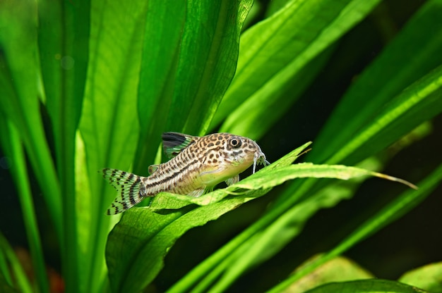 Ryba. corydoras julii w akwarium. corydoras trilineatus