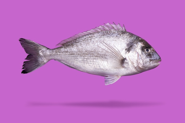 Ryba dorado lewitująca na różowym tle, surowe owoce morza