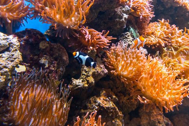 Ryba klauna nemo w akwarium w rio de janeiro w brazylii.