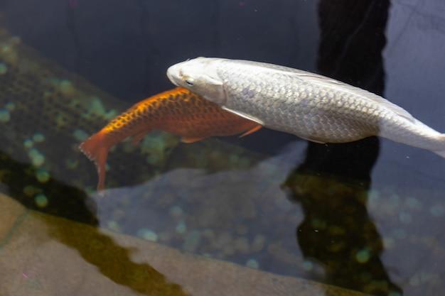 Ryba koi. karp japońska ryba. piękna rybka w pomarańczowych, białych kolorach.