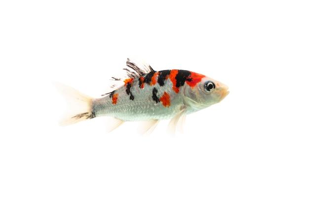 Ryba koi pływająca na białym tle