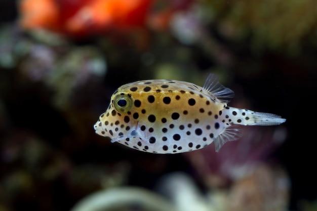 Ryba puffer na rozmytym tle