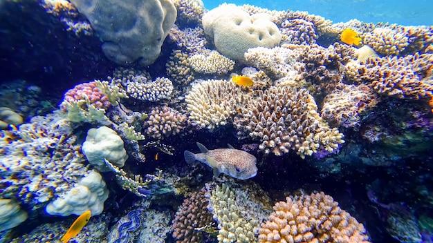 Ryba rozdymkowata chowa się w pobliżu koralowców morza czerwonego