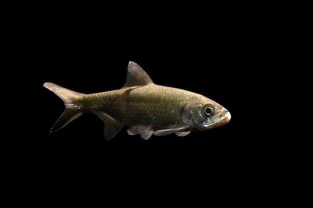 Ryba tarpon na czarnym tle