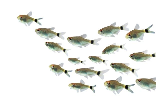 Ryba tetra red eye na białym tle