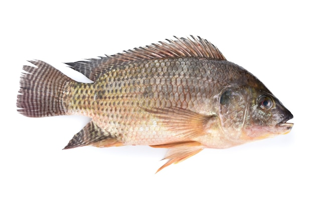 Ryba tilapia na białym tle