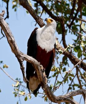 Rybi eagle w południowym luangwa, zambia