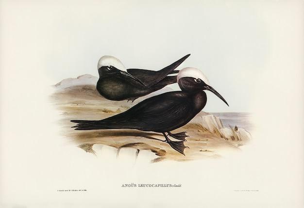 Rybitwa białoskrzydła (anous leucocapillus) zilustrowana przez elizabeth gould